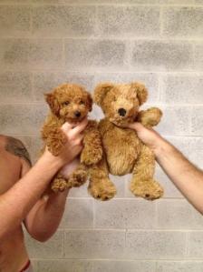 l-golden-doodle-v.-teddy-bear.